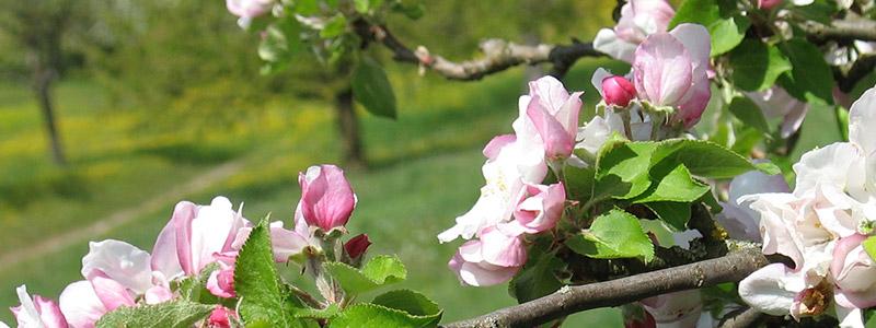 Blüten auf der Streuobstwiese