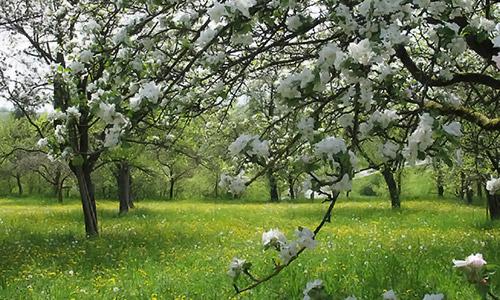 Streuobstblüte