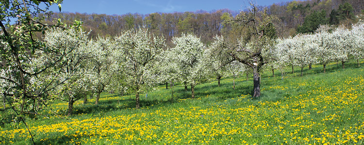 Blühende Obstbäume bei Kuppingen